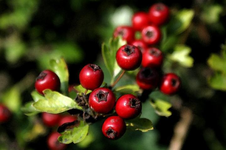 mirtillo rosso - cranberry